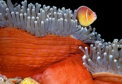 Abb. 3.11: Ein großer Teil des australischen Great Barrier Reef ist für die Fischerei gesperrt. Dadurch sollen die dort heimischen Lebewesen wie der Halsband-Anemonenfisch Amphiprion perideraion geschützt werden. © Doug Perrine/SeaPics.com