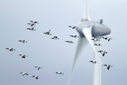 fig. 4.16: Marine spatial planning can also help to mitigate conflicts between wind turbines and the flyways of migratory birds. © Mark Schuurman/Buiten-beeld/Getty Images