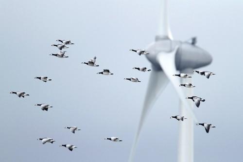 Abb. 4.16: Mit der Meeresraumplanung (MSP) lassen sich Konflikte zwischen Zugvögeln und Windkraftanlagen vermeiden. © Mark Schuurman/Buiten-beeld/Getty Images