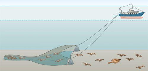 Abb. 2.43: Baumkurren sind Grundschleppnetze, die an einem schweren Metallgestänge über den Meeresboden geschleift werden. Viele auf und im Boden lebende Tiere werden dadurch getötet. © maribus