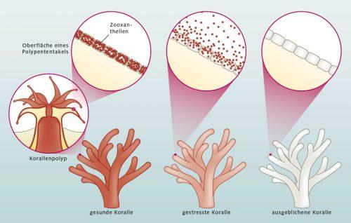Abb. 3.10: Korallen sind im Grunde farblos. Was sie dennoch farbig erscheinen lässt, rührt von Einzellern (Zooxanthellen) her, die im Gewebe der Korallen sitzen. Die Zooxanthellen betreiben Photosynthese und sind grünlich oder rötlich gefärbt. Steht nun die Koralle unter Stress, etwa aufgrund von hohen Wassertemperaturen oder Wasserverschmutzung, stößt sie die Zooxanthellen ab und bleicht deshalb aus. Außerdem fehlen ihr jetzt lebenswichtige Zuckerverbindungen, die normalerweise von den Zooxanthellen bereitgestellt werden. Die Koralle wird dadurch geschwächt. © maribus