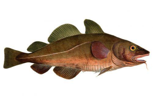 Abb. 3.11: Der Kabeljau ist einer der wirtschaftlich bedeutendsten Fische im Nordostatlantik. Durch die Meereserwärmung könnten sich die Wachstumsbedingungen für Kabeljaueier und -larven verschlechtern. Dadurch könnte der große Kabeljaubestand nördlich von Norwegen erheblich schrumpfen. © Science Photo Library/akg-image