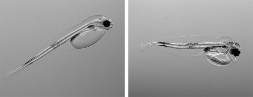 fig. 3.12: On the left is a healthy cod larva, on the right a deformed one. This clearly illustrates the destructive impact of increased temperature and acidification on young life stages. © Flemming Dahlke/Alfred-Wegener-Institut