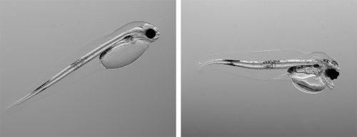 Abb. 3.12: Links ist eine intakte Kabeljaularve zu sehen, rechts eine geschädigte. Daran wird deutlich, wie zerstörerisch sich Wärme und Versauerung auf junge Lebensstadien auswirken können. © Flemming Dahlke/Alfred-Wegener-Institut